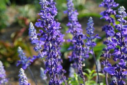 japan-lavender