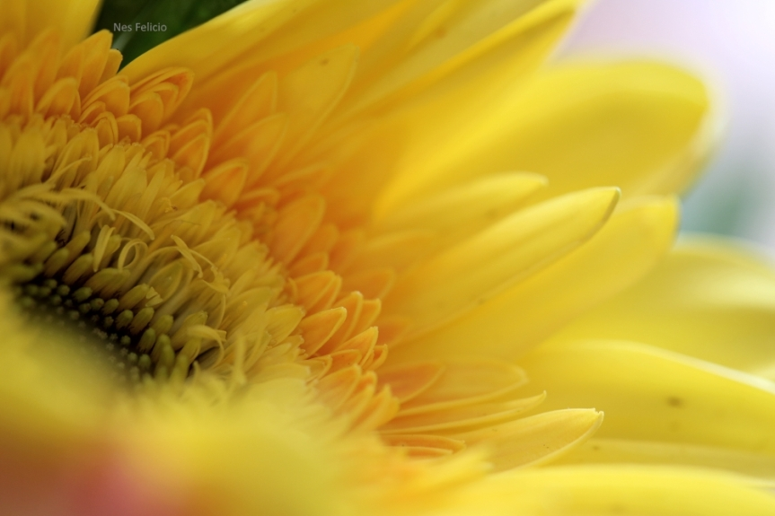 petal_9950