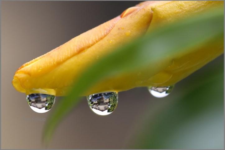 raindrops-macro-yellow-bell