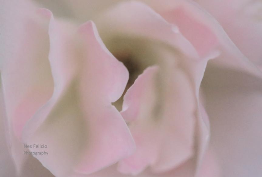 rose_4552