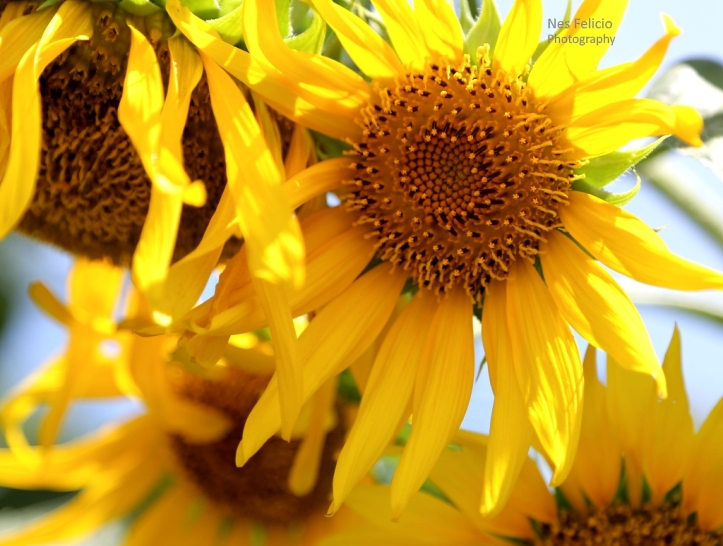 sunflower_9556