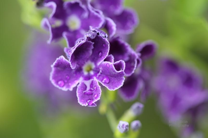 purple_3650