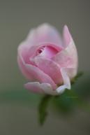 rose_7310