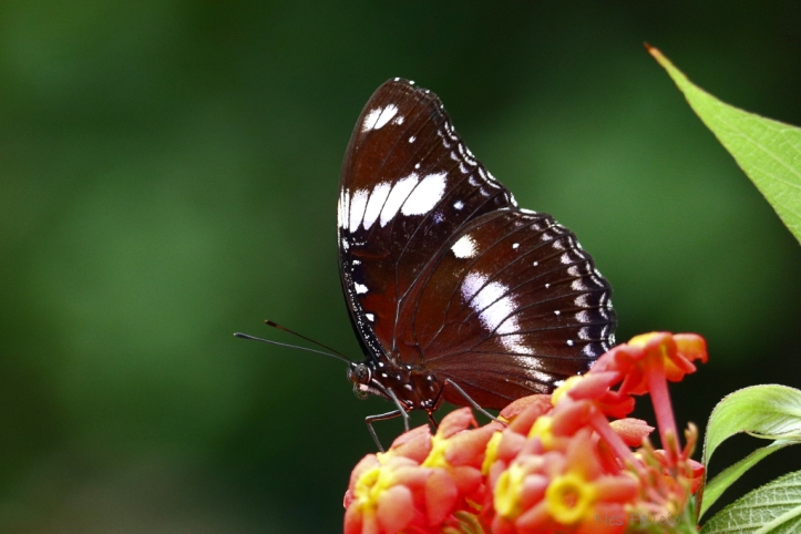 butterfly_9661h
