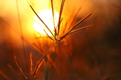 grass_sunset_1082