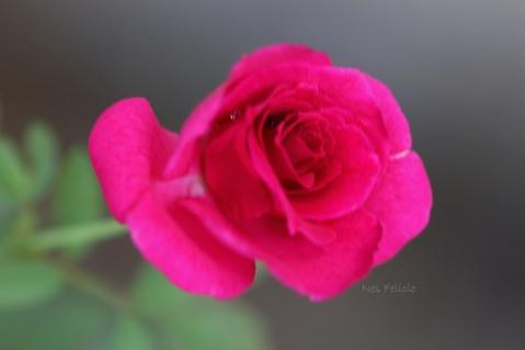 rose_9147