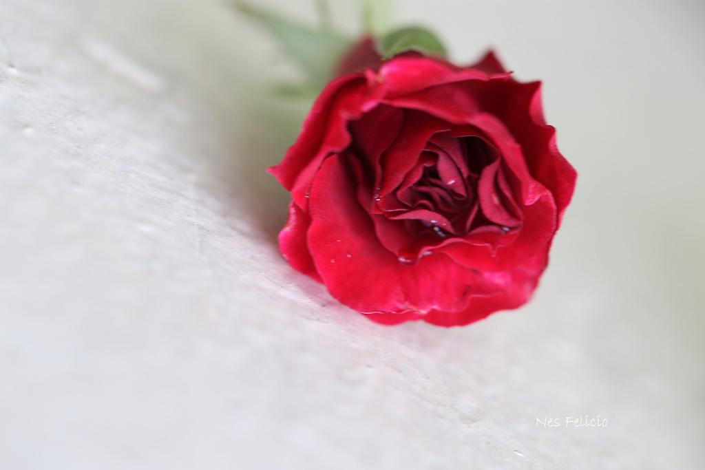 rose_0116