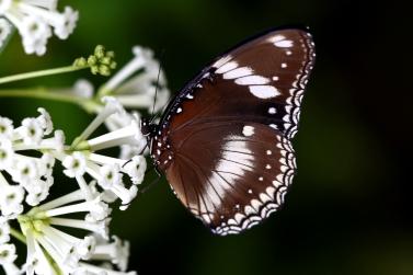 Blue-moon-butterfly-underside