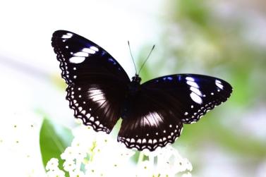 Blue-moon-butterfly