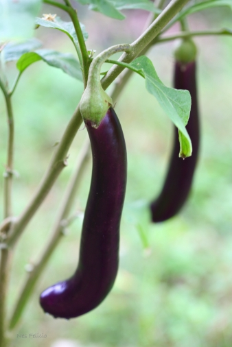 eggplant_1282