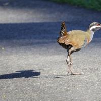 Tikling Bird