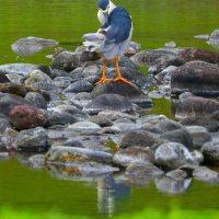 Black-Crowned Night Heron Preening