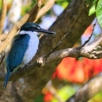 White-Collared Kingfisher on a Bright Morning