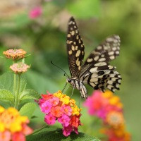 Swallowtail (Lime Butterfly) is Back